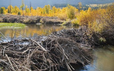 Why Do Beavers Build The Most Amazing Dams?