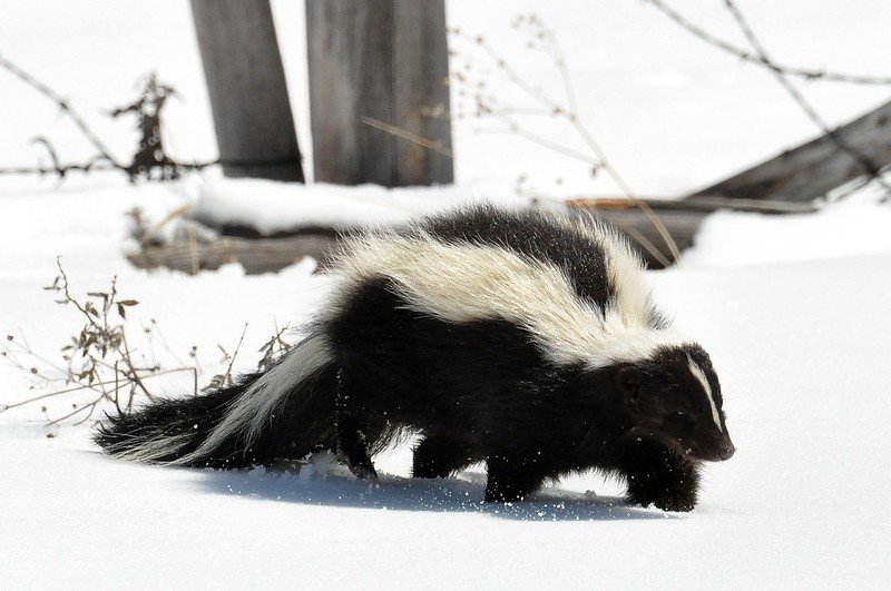 what is skunk spray?